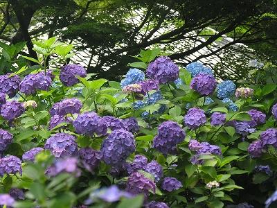 明月院紫の花20090619
