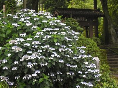 浄智寺総門横の額紫陽花20090619