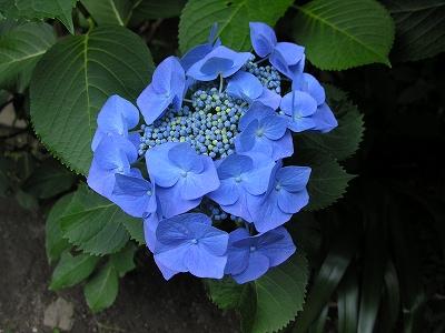 阿弥陀寺額紫陽花1-20090620