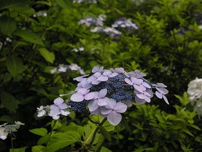 阿弥陀寺額紫陽花2-20090620