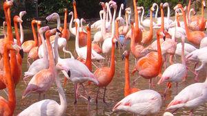 300px-Flamingo03_960.jpg