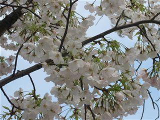 Ohshima sakura