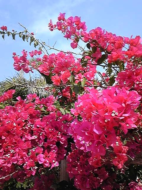 お隣に咲くブーゲンビリア