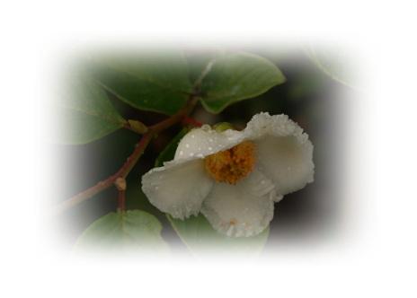 DSC00998露に濡れた花