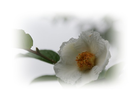 DSC01005露に濡れた花