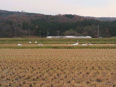 白鳥P1000042