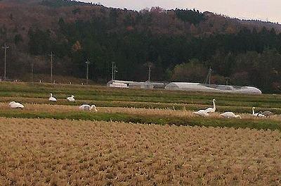 白鳥P1000043
