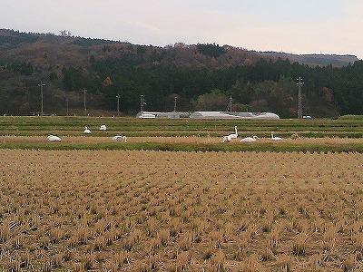白鳥P1000044