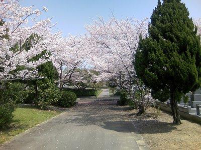 青野山の桜1