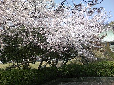 青野山の桜2