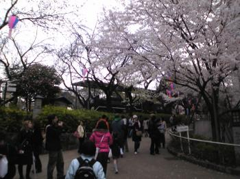 Image1571sakura.jpg