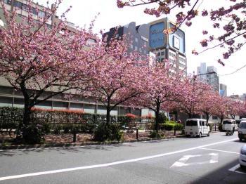 通称桜通りです。