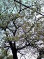 桜きれいだね