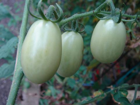 tomato1swb