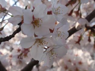 川辺の桜 アップ