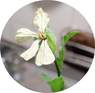 ルッコラの花だよ