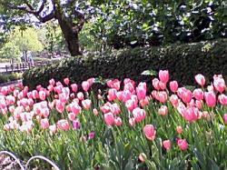 チューリップの花が