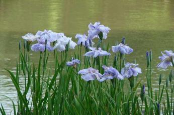 草加公園の花菖蒲