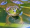 081114-frog.jpg
