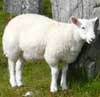 081126-sheep.jpeg