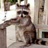 081206-raccoon.jpg