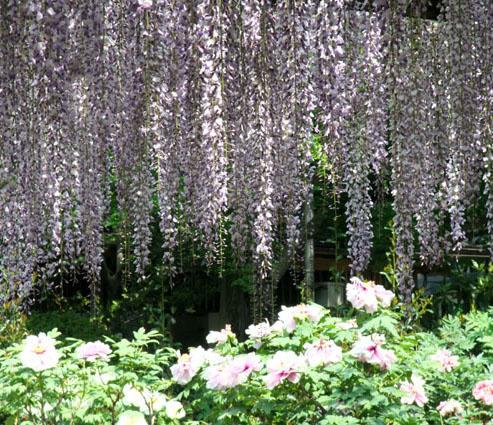紫藤とぼたんの花