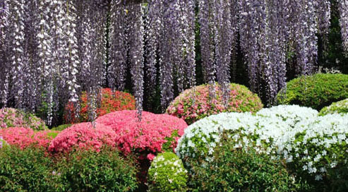 藤とつつじの花