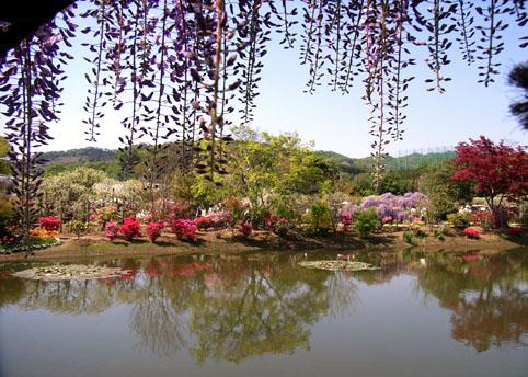 美しい藤の景色