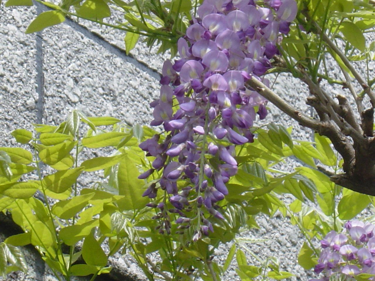 当社の藤の花