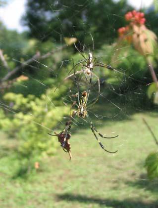 H230901蜘蛛