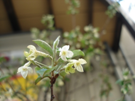 花 グミの木