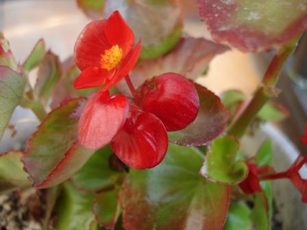 花 ベコニア