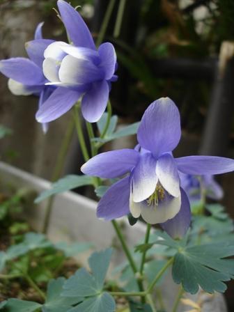 花 オダマキ