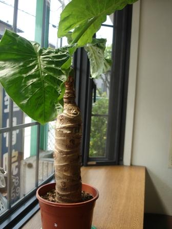 花 芋の木