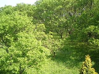 川口家隣りの栗林