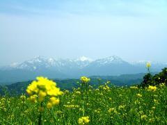 菜の花越しの越後三山