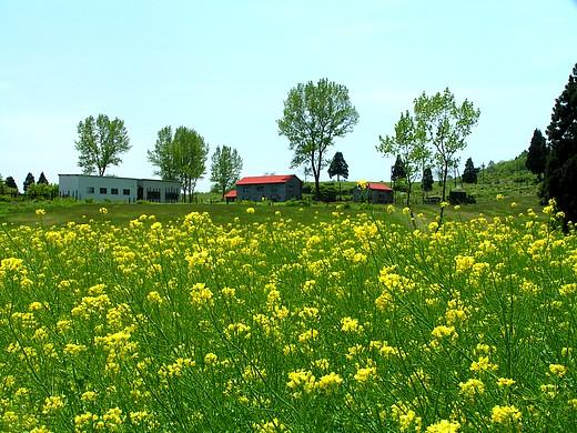山本山高原牧場に広がる菜の花畑