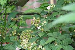 庭のブラックベリー