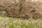 多摩川の桜1