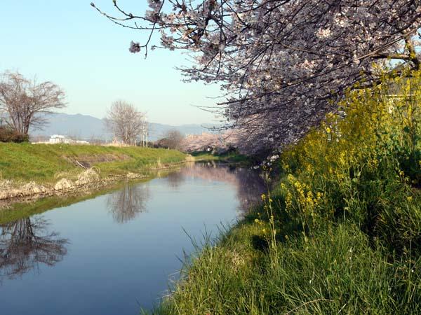 真野川桜1