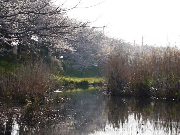 真野川桜2