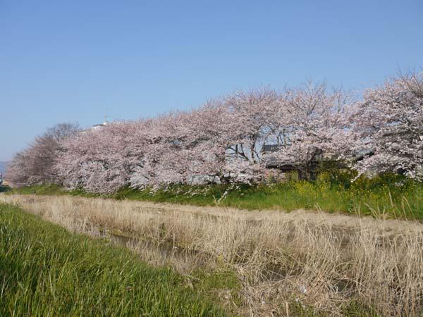 真野川桜3
