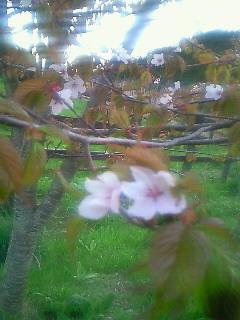 うちの奥の桜