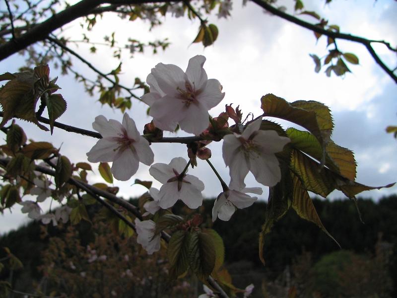 うちの桜くん