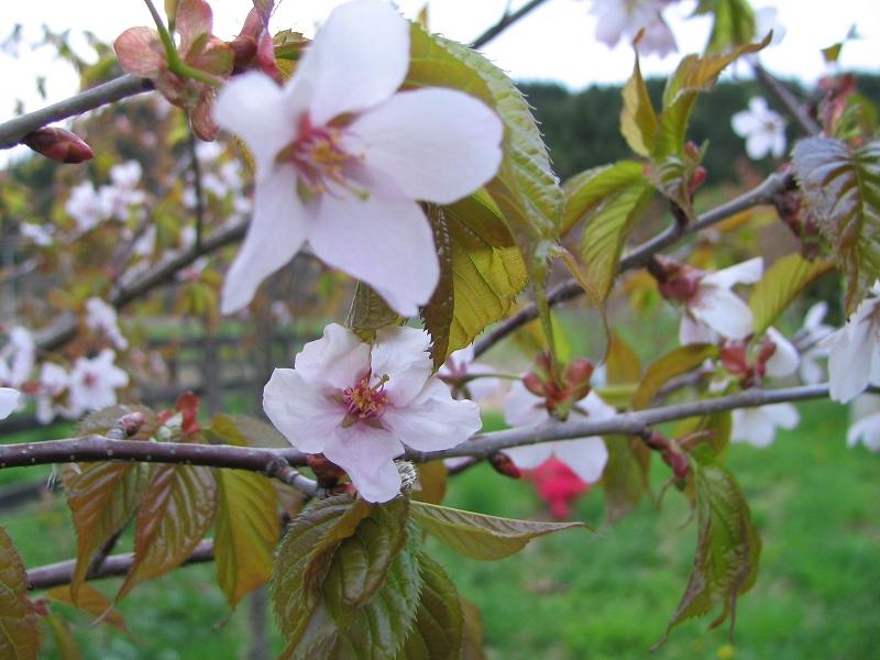 うちの桜1