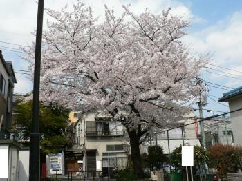 小さい公園の桜