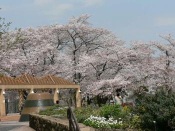 でっかい公園の桜