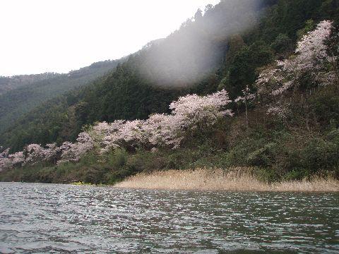 南桑の桜…