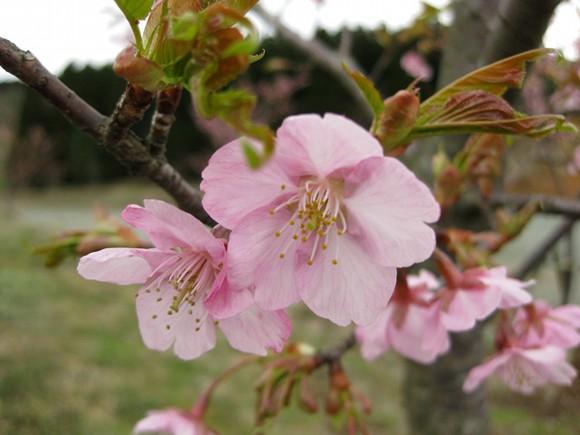 菊池高原桜が見頃になりました。