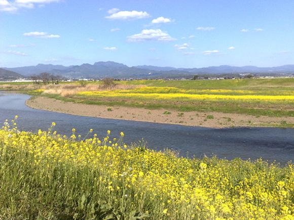 菜の花と菊池川ライド